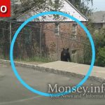 Black Bear Visits Monsey, Caught and Removed